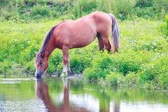 Acqua potabile del cavallo dal fiume Fotografie Stock