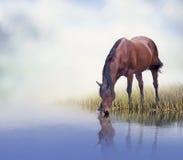 Acqua potabile del cavallo di Brown Immagini Stock Libere da Diritti