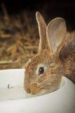 Acqua potabile del coniglio Immagini Stock Libere da Diritti