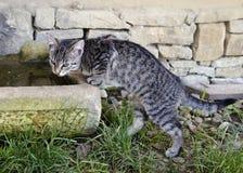 Acqua potabile del gatto Immagine Stock