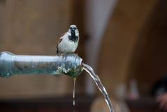 Acqua potabile del passero Fotografie Stock Libere da Diritti