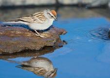 Acqua potabile del passero cinguettante, con la riflessione fotografia stock
