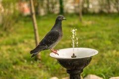 Acqua potabile del piccione fotografia stock libera da diritti