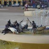 Acqua potabile del piccione immagini stock libere da diritti