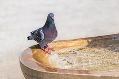 Acqua potabile del piccione dalla fontana immagine stock