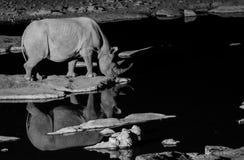 Acqua potabile del rinoceronte nero nella sera immagine stock libera da diritti