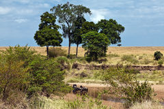 Acqua potabile del Wildebeest nel fiume Immagine Stock