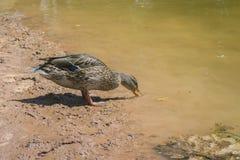 Acqua potabile dell'anatra sulla riva Immagini Stock Libere da Diritti