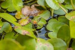 Acqua potabile dell'ape di estate con il fondo comune di Frogbit Fotografie Stock Libere da Diritti