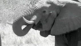 Acqua potabile dell'elefante africano stock footage
