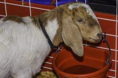 Acqua potabile della capra Fotografia Stock