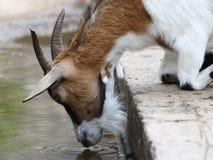 Acqua potabile della capra Fotografie Stock Libere da Diritti