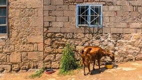 Acqua potabile della capra di Brown davanti ad una casa di pietra Fotografia Stock Libera da Diritti