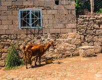 Acqua potabile della capra di Brown davanti ad una casa di pietra Immagine Stock