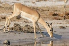 Acqua potabile della gazzella di Grant dal fiume Fotografie Stock Libere da Diritti