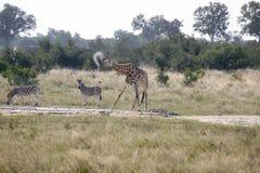 Acqua potabile della giraffa africana fotografia stock libera da diritti