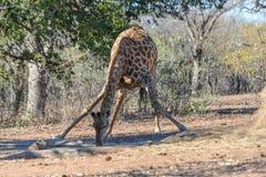 Acqua potabile della giraffa a waterhole Fotografia Stock