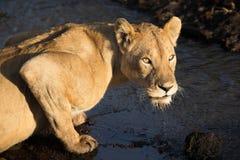 Acqua potabile della leonessa adulta da una corrente nel cratere di Ngorongoro Fotografia Stock Libera da Diritti