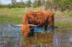 Acqua potabile della mucca dell'altopiano Fotografie Stock