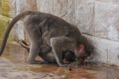 Acqua potabile della scimmia immagine stock