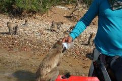 Acqua potabile della scimmia selvaggia da una bottiglia delle mani umane Fotografia Stock