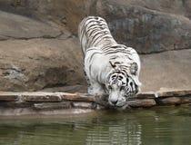 Acqua potabile della tigre bianca Fotografia Stock Libera da Diritti