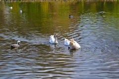 Acqua potabile delle anatre dal lago nel mezzo di un parco Primo piano di Immagine Stock Libera da Diritti