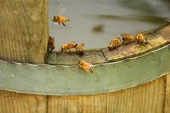 Acqua potabile delle api Immagine Stock
