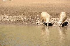 Acqua potabile delle pecore Fotografia Stock