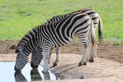 Acqua potabile delle zebre Fotografie Stock