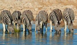 Acqua potabile delle zebre delle pianure Fotografia Stock