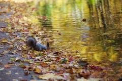 Acqua potabile dello scoiattolo dal fiume Immagini Stock