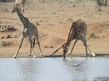 Acqua potabile occupata della giraffa Immagini Stock Libere da Diritti