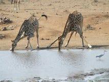 Acqua potabile occupata della giraffa Immagine Stock