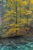 Acqua pulita, albero giallo Immagine Stock