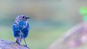 Acqua-Redstart Plumbeous Fotografie Stock Libere da Diritti