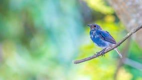 Acqua-Redstart Plumbeous Immagini Stock Libere da Diritti