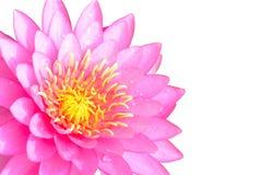 Acqua rosa lilly isolata su fondo bianco Fotografia Stock