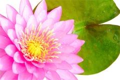 Acqua rosa lilly isolata su fondo bianco Fotografia Stock Libera da Diritti