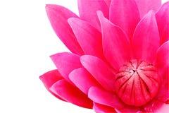 Acqua rossa lilly isolata su fondo bianco Fotografie Stock