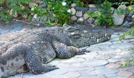 Acqua salata Tailandia del coccodrillo Immagini Stock Libere da Diritti