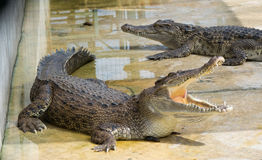 Acqua salata Tailandia del coccodrillo Fotografie Stock