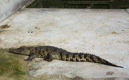 Acqua salata Tailandia del coccodrillo Immagine Stock