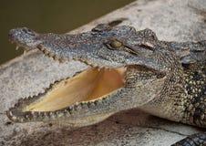Acqua salata Tailandia del coccodrillo Noleggi Fotografia Stock Libera da Diritti