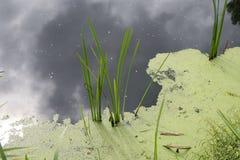 Acqua stagnante con la fioritura delle alghe Acqua di fiume inquinante immagine stock libera da diritti