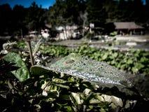 Acqua sulla foglia nella stagione invernale Immagine Stock