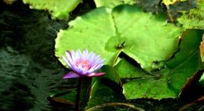 Acqua viola lilly fotografia stock