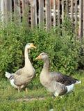 acquainted позвольте гусыням фермы получите к Снимать outdoors деревенский Стоковое Изображение