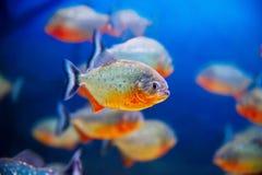 Acquario blu dell'acqua salata Fotografia Stock
