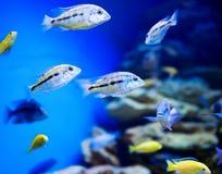 Acquario blu dell'acqua salata Fotografie Stock Libere da Diritti